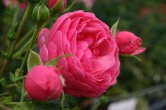 Las rosas son todo color, fragancia, volumen,… Puedes pensar que las rosas no pueden cultivarse en cualquier jardín o terraza, pero nada más lejos de la realidad. Veamos como cultivar nuestras propias rosas y aprendamos los cuidados básicos que necesitan.