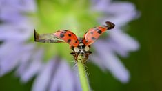 Coccinelle asiatique Site Photo, Insects, Animals, Large Bookcase, Photography Equipment, Ladybugs, North America, Asia, Animales