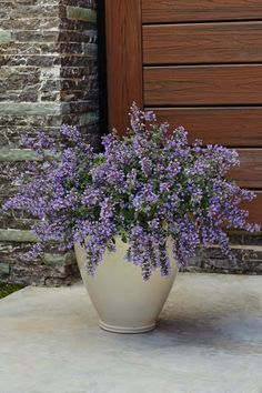 Make a hidden water reservoir for pots in the garden.When you pot up your flowers dangle a few 'wicks' (mop strings) out of the drainage holes. The wicks should be placed a few inches into the potting mix in your planter.  This Catmint nepeta faassenii LOOKS like it would cause allergies to flare up but it gets a 2 on the OPALS™ scale! More on allergy-friendly plants from the Top 10 Allergy Fighting Plants