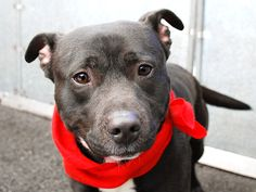 JUSTIN - A1033963TO BE DESTROYED-04/30/15 A volunteer writes: When they were handing out good looks it seems that Justin got in line twice! With his silky-to-the-touch fur, bright chocolate drop eyes and a body so compact he resembles a miniaturized Labrador Retriever, this guy has it all goin' on and his handsomeness is more than matched by his wonderfully friendly and affectionate nature. With so many hugs and kisses to give out and neighboring dogs to play with, Justin makes for a very…