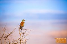 Beautiful/Colorful Bird on Tree of Thorns - South Africa