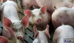 Pigs with edited genes show resistance