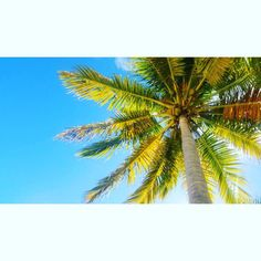 Coconut  #beach #palmtree #cayolevisa #ocean #sun #sky #blue #leafs #coconut #tanning #view #pinordelrio #cuba #vacation #chill #relax #sunbathing #swim #clear #hot #fun #travel #island