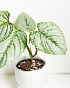 philodendron sodiroi - All For Herbs And Plants Rare Plants, Exotic Plants, Tropical Plants, Plant Aesthetic, Plants Are Friends, Interior Plants, Cool Plants, Plant Care, Plant Decor