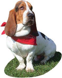 Bassett hound lick finger the