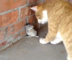 Funny & Dramatic Mouse Vs Cat 😂 & Mouse wins 😆 Compilation Of Funny mouse and cat. Cute Cat Gif, Cute Funny Animals, Cute Baby Animals, Animals And Pets, Cute Cats, Funny Cat Memes, Funny Cats, Memes Humor, Hilarious