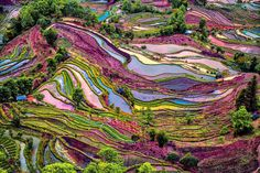<p>A beautiful purple colored rice field in Yuanyang, Yunnan Province, China. (Enrico Barletta/Caters News) </p>