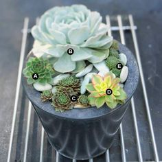 This+combination+of+rosette-forming+succulents+makes+a+simple+but+elegant+statement.+Washed+river+rocks+act+as+decorative+mulch+that+echoes+the+bluish+gray+leaves+of+the+echeveria.+The+strong+lines+of+the+metal+grill+provide+contrast+with+the+rounded+forms+of+the+plants+and+the+container.+A.+Echeveria+elegans+--+1+B.+Hen-and-chicks+(Sempervivum+tectorum)+--+1+C.+Hen-and-chicks+(Sempervivum+marmoratum)+--+1+D.+Aeonium+'Kiwi'+--+1+E.+Hairy+houseleek+(Sempervivum+ciliatum)+--+1