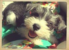 Mini Schnauzer puppy smiles!