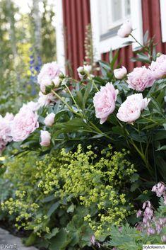 Rosa pioner (blommar juni-juli) och daggkåpa (blommar juni).