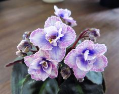 Persian Lace | S. Sorano (8264) 7/ 28/95. Double white frilled pansy with pale blue blushed lower petals, light blue veined top petals. Foliage very dark green, wavy, serrated, red back. Semi-miniature.