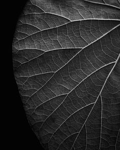 Black and white photograph of the detailed vein structure of a leaf in summer, dramatically cropped and subtly lighted to emphasize the lines. Black And White Leaves, Black And White Beach, Black And White Landscape, White Leaf, Leaf Photography, Beautiful Landscape Photography, Still Life Photography, Landscape Photos, Photography Ideas
