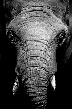 African Elephant Portrait - by George (source)
