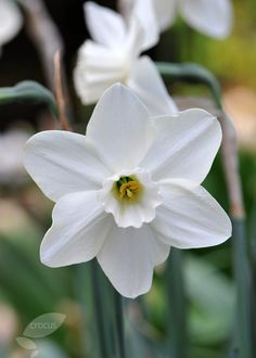 Narcissus 'Easter Moon': FULL SUN/PART SHADE. APRIL. 35 cms high. Excellent cut. Large cupped.