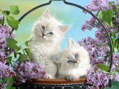papel de parede Gatos Brancos