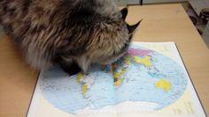 Maine Coon Kater Spirit bei der Urlaubsplanung Mystery, Cats, Animals, Summer, Kunst, Gatos, Animales, Animaux, Animal