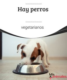 Hay perros vegetarianos - Mis Animales  Los perros vegetarianos son omnívoros y los gatos carnívoros. En principio, los expertos en nutrición animal recomiendan no ofrecerles una dieta sin carne. #vegetariano #perro #alimentación #nutrición