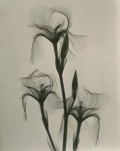 "Dain L. Tasker's radiographs depict delicate flowers from the inside out ""Fleur-de-lis,"" 1936. (Dr. Dain L. Tasker/Joseph Bellows Gallery)"