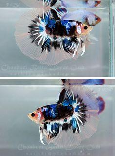 Fancy koi betta fish