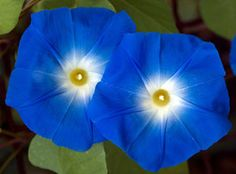 Blue flowers are one of the prettiest colors in a garden. Perhaps it   is because blue is a soothing color, or maybe it's due to the fact that   other colors look so pretty with it.