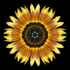 Google Image Result for http://www.phototransformations.com/media/blog/phototransformations/Yellow_and_Brown_Sunflower_I_600x600.jpg