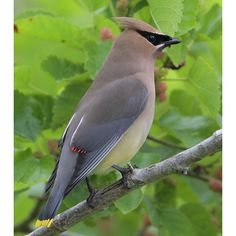 Cedar Waxwing, from Birdweb: Note: brownish yellow body, white undertail coverts, and yellow tip to tail. Seen at the Union Bay Natural Area next to UW.