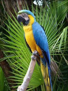 El guacamayo azulamarillo (Ara ararauna), también conocido como guacamayo azul y amarillo, papagayo amarillo o paraba azul amarillo, es una especie de ave psittaciforme de la familia de los loros propia de América del Sur. Su área de distribución comprende desde Panamá hasta el norte de Chile pasando por toda la cuenca amazónica.