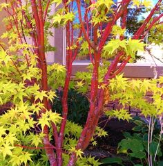 Coral bark Japanese maple would be an awesome replacement for that cedar stump. Would look great against the garage and shade the patio.