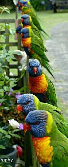 Colorful birds - Australian Lorikeets - by Oz Photography