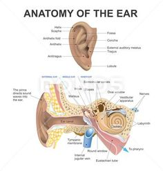 The human ear consists of three parts the outer ear, middle ear and inner ear. The ear canal of the outer ear is separated from the air filled tympanic cavity of the middle ear by the eardrum. The middle ear contains the three small bones the ossicles inv Human Ear Diagram, Anatomy Body Parts, Human Anatomy And Physiology, Human Ear Anatomy, Facial Anatomy, Brain Anatomy, Sleep Apnoea, Ear Parts, Parts Of The Ears