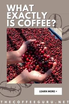 What'd be your response when you are asked what is a coffee?... A brown delicious drink that supplies the body with early morning energy. It is! But there's more! Coffee is not necessarily just a drink but a plant. #coffeebeans #whatiscoffee #coffeetree #coffeefruit #coffeeisafruit #coffeeplant Types Of Coffee Beans, Arabica Coffee Beans, Standard Coffee, Coffee Facts, Coffee Plant, Coffee Health Benefits, Coffee Type, Fresh Coffee, Growing Tree