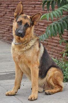 Beautiful German Shepherd #GermanShepherd