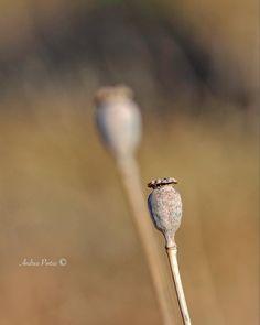"Andrea Pintus on Instagram: ""Twins... . . #igers #igersitalia #sardinia #vscocam #igdaily #wildflowers #closeup #natgeo #nationalgeographic #yourshotphotographer"" Vsco Cam, Sardinia, Wildflowers, National Geographic, Close Up, Dandelion, Twins, Instagram, Dandelions"