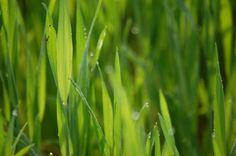 Wheat /Looney Farms
