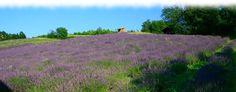 Coltivazione Biologica della lavanda in Monferrato - Ponti