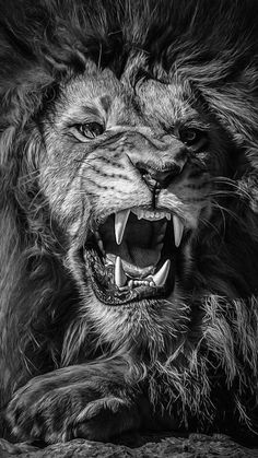 Lion tattoos hold different meanings. Lions are known to be proud and courageous creatures. So if you feel that you carry those same qualities in you, a lion tattoo would be an excellent match Animals And Pets, Cute Animals, Nature Animals, Wild Animals, Lion Photography, Lion Love, Lion Pictures, Lion Of Judah, Lion Art