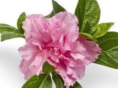 ***Azalea Double Pink Bloom A Thon  Reblooming evergreen flowering shrub  Over 5+ months of bloom!  Deer proof evergreen foliage  Perfect long flowering Hedge Plant for partly shaded areas  Loved by Butterflies & Hummingbirds  View All Flowering Shrubs  Zones 6,7,8,9 Blooms Spring, Summer-Fall  4-5' x 4-5'