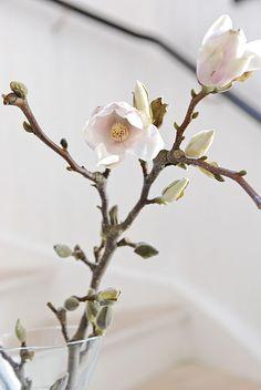 "livia-bruch: "" pink magnolia blossoms """