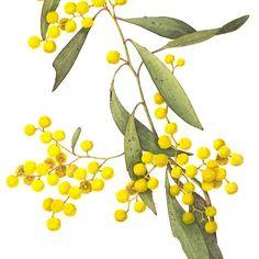 'Acacia pycnantha - Golden Wattle' by Cheryl Hodges