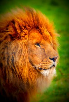 African Lion on Flickr. Proud Lion
