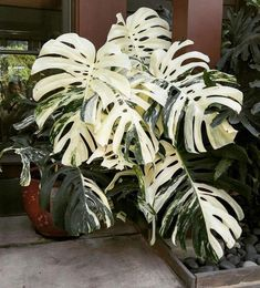 Houseplants for Better Sleep Variegated Monstera Deliciosa At Sarah P. Rare Plants, Exotic Plants, Tropical Plants, House Plants Decor, Plant Decor, Belle Plante, Plants Are Friends, Variegated Plants, Monstera Deliciosa