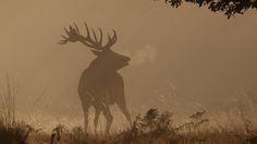 Exhalation   Red Deer stag's breath post bellow   Hammerchewer   Flickr