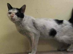 TO BE DESTROYED 5/6/14 ** POOR SAM IS A VERY FRIENDLY GIRL WHO NEEDS TO SEE A VET. SHE HAS SEVERE MUCOPURULENT OCULO-NASAL DISCHARGE ACCORDING TO THE ACC. WON'T YOU PLEASE PLEDGE, FOSTER OR ADOPT THIS SWEET KITTY TO SAVE HER LIFE TONIGHT?? *  Manhattan Center  My name is SAM. My Animal ID # is A0998370. I am a female white and black domestic sh mix. The shelter thinks I am about 4 YEARS old.  I came in the shelter as a STRAY on 05/01/2014 from NY 10458