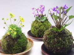 "Surprise your customers by presenting your plants ""Kokedama-style""; Japans most popular technique. Kokedama is a Japanese Bonsai-style and Japanese term for moss balls as well. Air Plants, Garden Plants, Indoor Plants, House Plants, Hanging Plants, Indoor Herbs, Aquatic Plants, Cactus Plants, Ikebana"