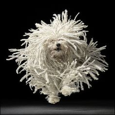 What kind of dog is this? Stringy Spaniel is my guess.