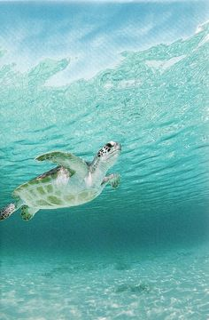 Green Sea Turtle haunts a Caribbean shoal  National Geographic | February 1994