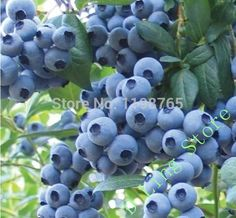 100pcs/pack Sweet Blueberry Seeds Exercise children's practical ability #clothing,#shoes,#jewelry,#women,#men,#hats,#watches,#belts,#fashion,#style