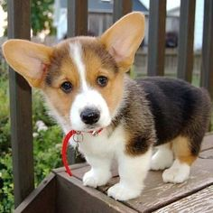 A place for all things corgi puppies. Cute Corgi Puppy, Corgi Dog, Cute Puppies, Cute Dogs, Baby Corgi, Teacup Puppies, Lab Puppies, Fluffy Animals, Cute Baby Animals
