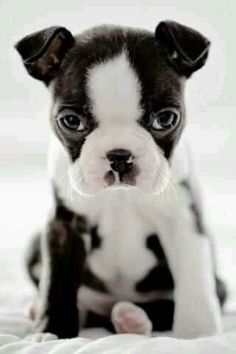 WELL I AM JUST THE SWEETEST BOSTON TERRIER PUPPY EVER.....!!!