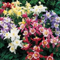 Columbine: Columbines are common in found inmeadows, woodlands, and at higher altitudes throughout the Northern Hemisphere.